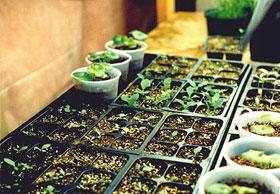 семена и рассада для дачи